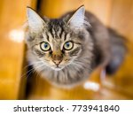 portrait of a cat in the house   Shutterstock . vector #773941840