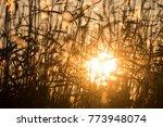 Backlit Reeds At Sunset Golden...