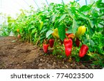 Growing Sweet Peppers In A...