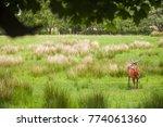 family of deer in the scottish... | Shutterstock . vector #774061360