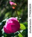pink peony with transparent... | Shutterstock . vector #774063604
