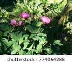 field of wild flower of pink... | Shutterstock . vector #774064288