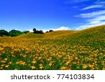 Small photo of The broad and undulate beautiful farmland of Citron daylily with blue sky and some white clouds background at Chihkeshan in Hualien, Taiwan. ( Hemerocallis citrina )