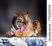 Beautiful Amur Tiger Eating...
