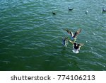 a flock of seagulls on the sea...   Shutterstock . vector #774106213