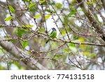 beautiful blue eared barbet ...   Shutterstock . vector #774131518