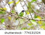 beautiful blue eared barbet ...   Shutterstock . vector #774131524
