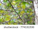 beautiful blue eared barbet ...   Shutterstock . vector #774131530