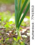 Young Spring Onion Sprout On A...
