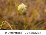 Small photo of August. Mountain meadow. Cephalaria uralensis