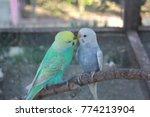 two beautiful budgerigar birds... | Shutterstock . vector #774213904