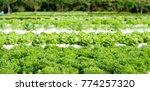green salad organic hydroponic... | Shutterstock . vector #774257320