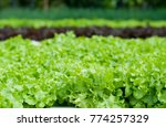organic hydroponic vegetable... | Shutterstock . vector #774257329