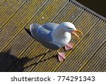 Stock photo looking down on the european herring gull larus argentatus on weymouth boardwalk 774291343