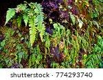 green fern plant in darjeeling... | Shutterstock . vector #774293740