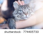 Stock photo woman at home holding her lovely fluffy cat gray tabby cute kitten with blue eyes pets and 774405733