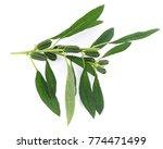 fresh sesame pods isolated on... | Shutterstock . vector #774471499