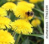 Bumblebee On A Dandelion Flower