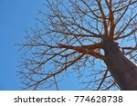 close up of large baobab tree... | Shutterstock . vector #774628738