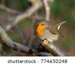 robin   erithacus rubecula  | Shutterstock . vector #774650248
