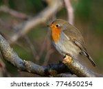 robin   erithacus rubecula  | Shutterstock . vector #774650254