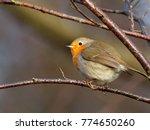 robin   erithacus rubecula  | Shutterstock . vector #774650260