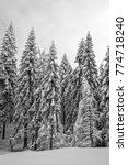Small photo of Group of snow capped trees in dark winter forest, melancholic scene