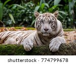white tiger in singapore zoo | Shutterstock . vector #774799678