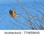 juvenile eurasian sparrowhawk...   Shutterstock . vector #774858640