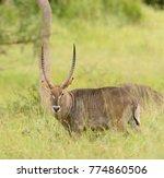 closeup of waterbuck ... | Shutterstock . vector #774860506