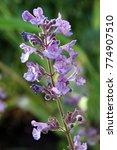 blooming hybrid cultivar... | Shutterstock . vector #774907510