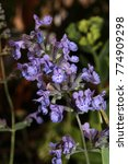 blooming hybrid cultivar... | Shutterstock . vector #774909298
