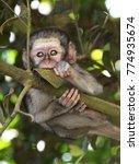 Small photo of Baby vervet monkeys on the KwaZulu Natal North Coast near Durban, South Africa.