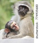 Small photo of Baby vervet monkeys on the KwaZulu Natal North Coast near Durban, South Africa.
