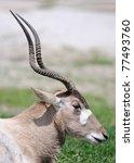 Small photo of Addax antelope (Addax nasomaculatus) profile