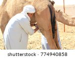 nomad is milking camel for... | Shutterstock . vector #774940858