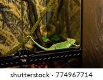 green chameleon in terrarium | Shutterstock . vector #774967714