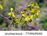 blossoming quercus robur ... | Shutterstock . vector #774969040