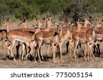 Small photo of A group of mostly female Impala (Aepyceros melampus melampus) in the Savuti region of Botswana.