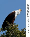 Small photo of An African Fish Eagle (Haliaeetus vocifer) calling. Chobe National Park in Botswana.