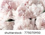 beautiful flowers  peonies.... | Shutterstock . vector #775070950