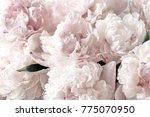 beautiful flowers  peonies.... | Shutterstock . vector #775070950
