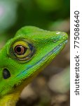 Een Anole Is A Common Lizard...