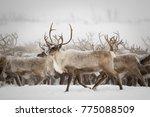 reindeer migration to breeding... | Shutterstock . vector #775088509