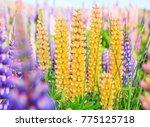view of lupin flower field near ... | Shutterstock . vector #775125718