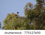 Small photo of 'I'iwi (Vestiaria coccinea)