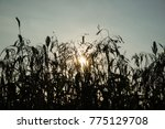 close up field of sorghum or... | Shutterstock . vector #775129708
