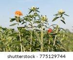 safflower  carthamus tinctorius ...   Shutterstock . vector #775129744