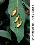 Butterfly Larva On A Green Lea...