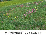 spring field of blooming tulips.   Shutterstock . vector #775163713